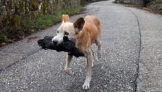 Mother dog carries the charred remains of her puppy in the aftermath of 2017 wildfires in Galicia Spain Bad Image, R Dogs, Nature Animals, Kangaroo, Corgi, Spain, Puppies, Llamas, Salvador