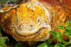 Land Iguana, Galapagos Islands #ecuador #travel