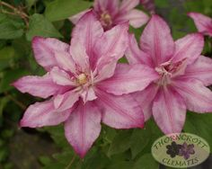 LASTING LOVE 'Grazyna' blooms twice