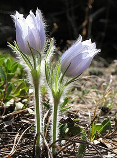 pasque flower                                           UCAR photographer Carlye Calvin