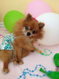 Party Pomeranian!!!     My Pomeranian Alarm Clock! | Where Mommies of the Pomeranian Breed can gather and socialize