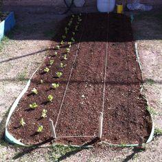 Lechugas, Espinacas y Acelgas en cama de cultivo (20-05-12)