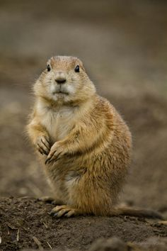 Black Tailed Prairie Dog