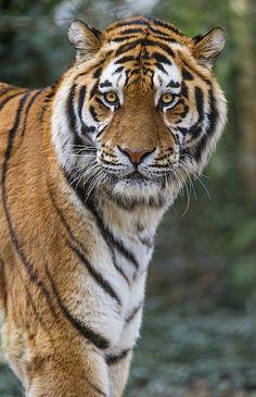 Nice portrait of the tiger! - http://www.1pic4u.com/blog/2014/12/22/nice-portrait-of-the-tiger/