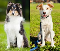 Forget conventional wisdom, new studies show designer hybrids and mixed breed dogs may not be healthier than their pedigreed cousins.