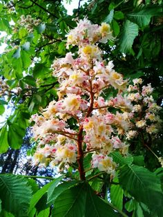 Chestnut tree aesculus hippocastanum x pavia with pink flowers blooming chestnut tree mightylinksfo Gallery