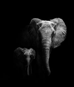 Photography : Black and White : Elephant Mother and Calf - this is so striking and lovely, such love.