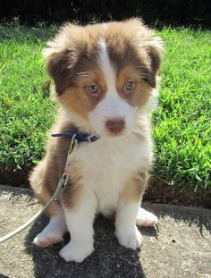 Bailey-the-Australian-Shepherd #dale-holman-maine