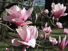 Saucer Magnolia (Magnolia soulangeana) a deciduous magnolia which offers tulip shaped blooms in February and March.