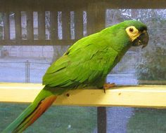 """Picture of """"Shilo"""", an Illiger's Macaw or Blue-winged Macaw"""