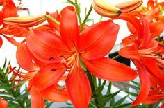 Beautiful day lily in red-orange color Beautiful Day, Beautiful Flowers, Flower Stamen, Vintage Wreath, Red Orange Color, Black Eyed Susan, Day Lilies, Warm Colors, Creative Design