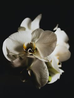 Black Orchid, White Orchids, White Flowers, Backgrounds Free, Black Backgrounds, Candle Supplies, Growing Orchids, Orchid Care, Moth Orchid
