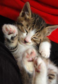 cute kitten sleeping irresistible big white mittens