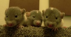 i dont care what people say rats are cute!