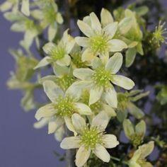 Syrenhortensia sætter kulør på efterårshaven. Den er meget fin i ...