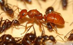4. If the queen ant dies, the whole colony dies with her. Top 10 Weird And Fun Facts About Ants! - Facts You Need to Know!