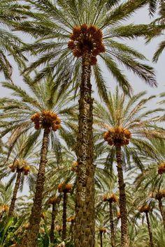 Beautiful Dates Trees Farm - Oman