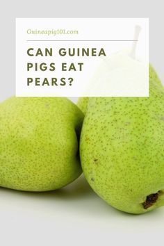 Who doesn't like to munch on pears? As human beings pears are one such fruit that is beneficial to us. These mildly sweet little fruit packed with a punch of vitamins and antioxidants are any time go-to snacks for us. But are pears good for your guinea pigs? Can Guinea pigs eat pears?