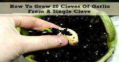 How To Grow 20 Bulbs Of Garlic From A Single Clove! - Expand your Consciousness