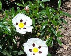 Jara pringosa - Cistus ladanifer La jara pringosa es una especie fanerógama perteneciente a la familia Cistaceae.