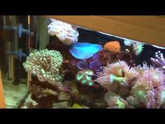 Mums Aqua One 620 reef aquarium look as amazing as ever!