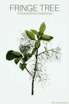 Fringe Tree Chionanthus virginicus (The root bark is also used to treat periodic fever syndromes. Natural Home Remedies, Natural Healing, Herbal Remedies, Herbal Plants, Medicinal Plants, Natural Medicine, Herbal Medicine, Fringe Tree, Healthy Herbs