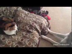 Cats stealing dogs' beds- I love cats! So funny! Cute Gif, Funny Cute, Crazy Cat Lady, Crazy Cats, I Love Cats, Cute Cats, Neko, Animal Pictures, Cute Pictures