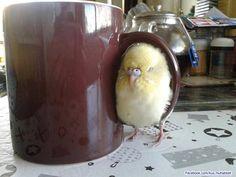 Budgie cuddled next to a warm mug