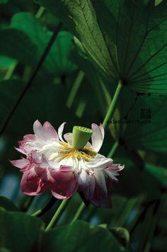荷花。lotus flower