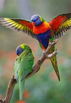A pair of brilliantly colored Rainbow Lorikeets. So pretty.