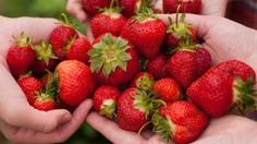 Strawberry picking in Georgia begins in April. Wondering where is the best strawberry farm near me? We the best most up-to-date list w/address, phone and more! Strawberry Benefits, Strawberry Farm, Strawberry Picking, Strawberry Guava, Benefits Of Organic Food, Health Benefits, State Foods, Healthy Food Options, Frozen Yogurt