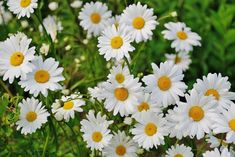 Shasta Daisies: How to plant, grow, and care for daisy flowers from The Old Farmer's Almanac.