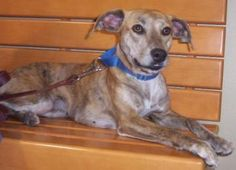 7 / 30    ***SENIOR*** Petango.com – Meet Abbey Rose, a 10 years 10 months Whippet / Mix available for adoption in ANDERSON, IN Address  P.O. Box 0991, ANDERSON, IN, 46015  Phone  (765) 649-7944  Website  http://www.countrysideanimalre scue.org  Email  info@countrysideanimalrescue.o rg