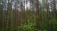 Finnish forest