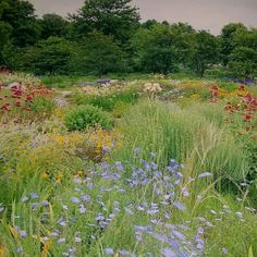 Centranthus and bearded iris From Designing Borders by Noel Kingsbury