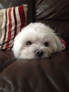 Cute angel #maltese playing peekaboo