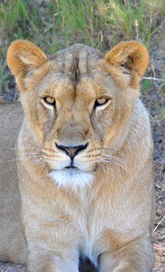 Lioness - Reserve Africaine de Sigean