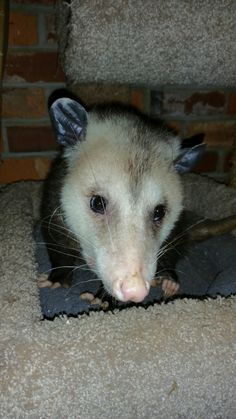 Possum who eats the cat's food.
