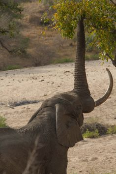 Elephant reaching up to pluck leaves from tree.   #elephants #southafrica #krugerpark