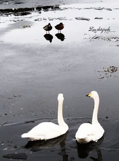 Swans © Copyrighted by linnfotografi.blogg.no