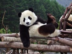 Volunteer with GoEco in China - Giant Panda chilling on the logs
