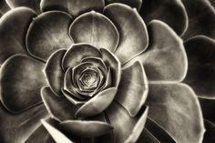 black and white succulent photography | The Succulent Wall - Menlo Park - 2010 - Scott Loftesness