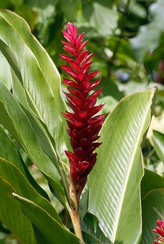 Red tropical flower. Martinique - Caribbean