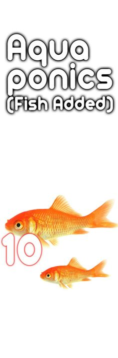 Adding Fish To Your Aquaponics System and Why You Need It
