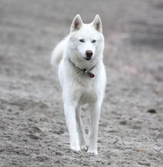 White Husky preferably female Looks like Spar. White Siberian Husky, White Husky, Siberian Husky Puppies, Husky Puppy, Siberian Huskies, Pomeranian Husky, Pomsky, Beautiful Dogs, Animals Beautiful