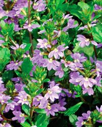 'Cajun Blue' Scaevola | Annuals | Southern Living Plant Collection