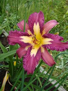 "Hemerocallis Alien DNA poly flower // This daylily has the wrong number of petals. Not sure what's going on. It says ""poly flower"" What's that??"