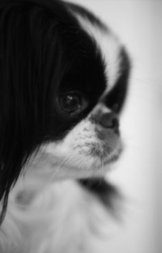 My photography my Japanese chin diesel by Stacey Smith Japanese Chin Puppies, Japanese Dogs, Cute Japanese, Toy Puppies, Lap Dogs, Dog Rules, Cute Friends, Dog Portraits, Dog Walking
