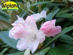 Rhododendron williamsinaum-gruppen 'Tiuku', Rhododendron. Höjd: 0,5-0,6 m. Zon III.