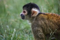 Black capped squirrel monkey (Saimiri boliviensis) by Jean-Claude Sch. on 500px